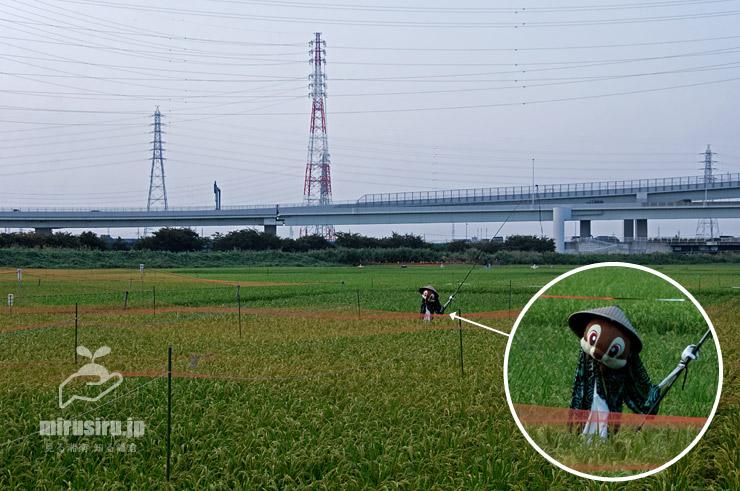 案山子(かかし)を立て、スズメ除けのネットを張った田んぼ 茅ヶ崎市・湘南タゲリ米の里 2019/08/25