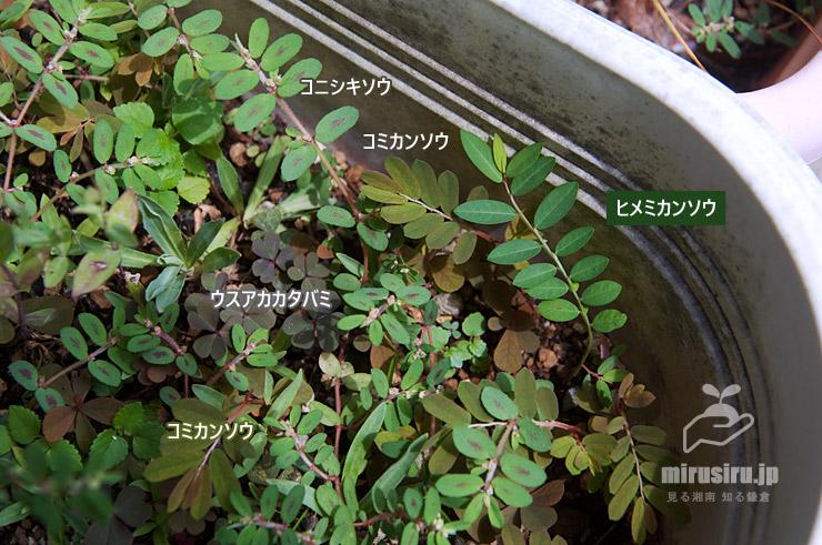 プランターに雑草として生えていたヒメミカンソウ 鎌倉市・収玄寺 2019/08/27