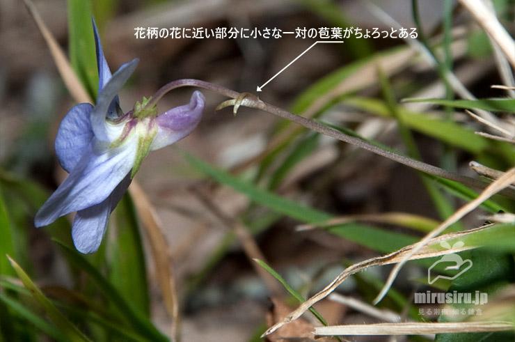 タチツボスミレの花柄に見られる小苞葉 平塚市・湘南平 2017/03/08