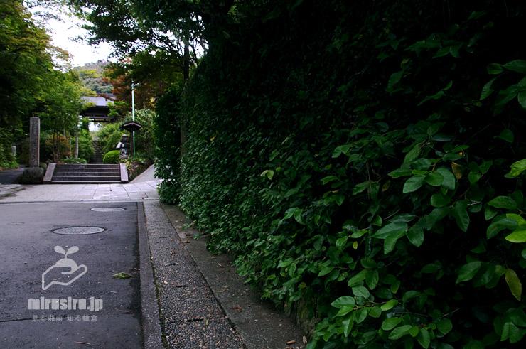 民家外壁を覆ったオオイタビ 鎌倉市・海蔵寺道 2019/08/27