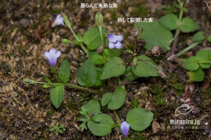 ウリクサの実 茅ヶ崎市・氷室椿庭園 2019/09/01