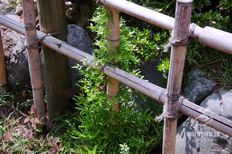カニクサ 茅ヶ崎市・氷室椿庭園 2019/09/01
