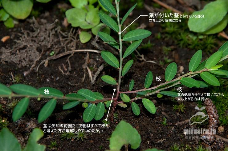 ヒメミカンソウの構造 茅ヶ崎市・氷室椿庭園 2019/09/01