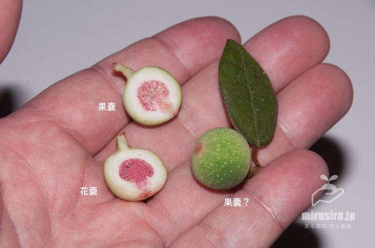 ヒメイタビの花嚢と果嚢 鎌倉市山ノ内 2019/09/04