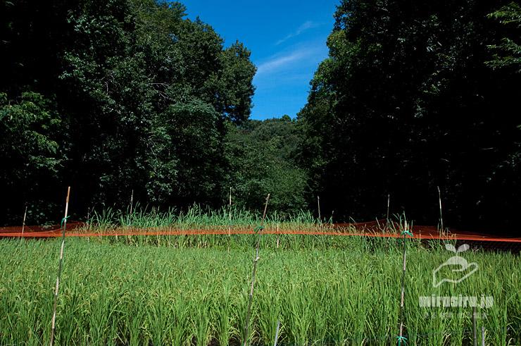 収穫までもう少しなイネ 茅ヶ崎市・清水谷 2019/09/06