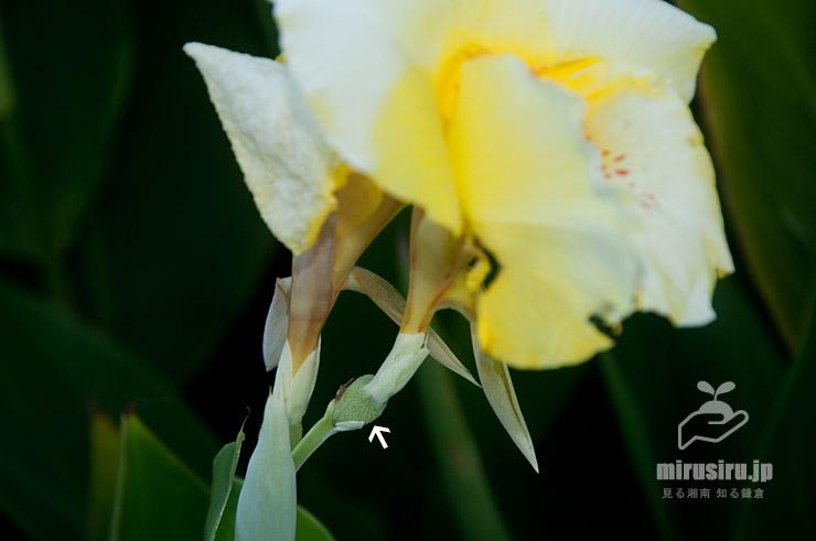 カンナの子房(白色矢印) 茅ヶ崎市矢畑・千ノ川 2019/09/06