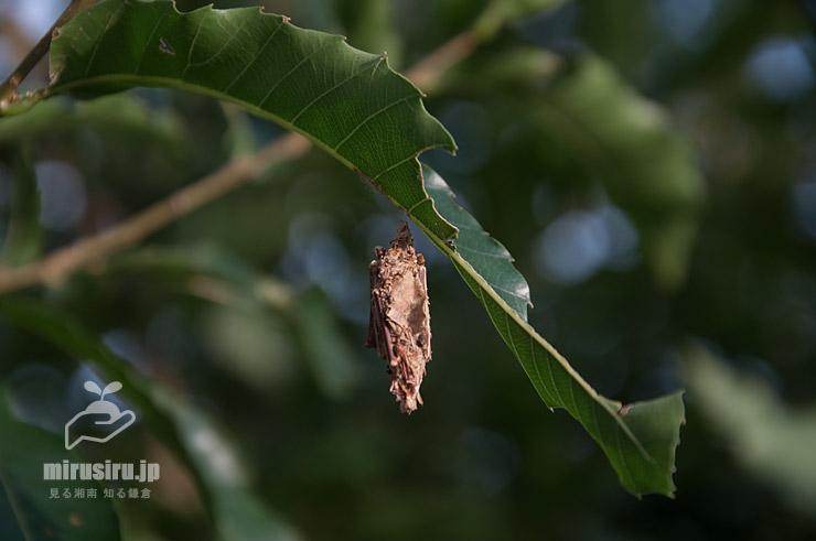クリの葉からぶら下がっているチャミノガの幼虫(ミノムシ) 茅ヶ崎市萩園 2019/09/09
