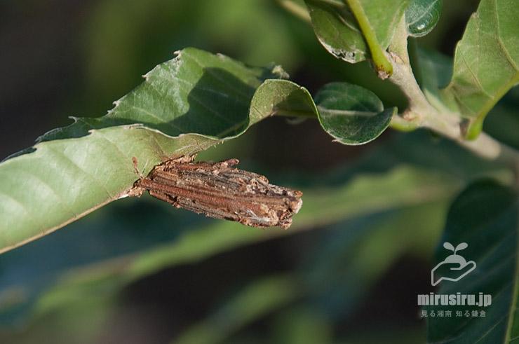 クリの葉に固着しているチャミノガの幼虫(ミノムシ)