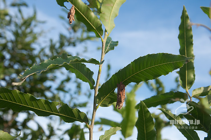 クリの葉に付いたチャミノガの幼虫(ミノムシ) 茅ヶ崎市萩園 2019/09/09