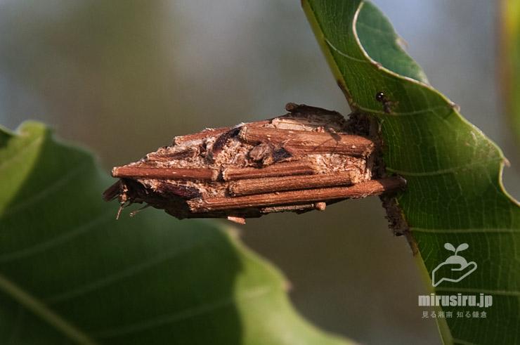 クリの葉に固着しているチャミノガの幼虫(ミノムシ) 茅ヶ崎市萩園 2019/09/09