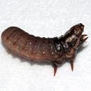 チャミノガの幼虫(ミノムシ)、体長1.5~2cm(伸び縮みする) 茅ヶ崎市萩園産 2019/09/10