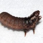 ミノムシ(チャミノガの幼虫)