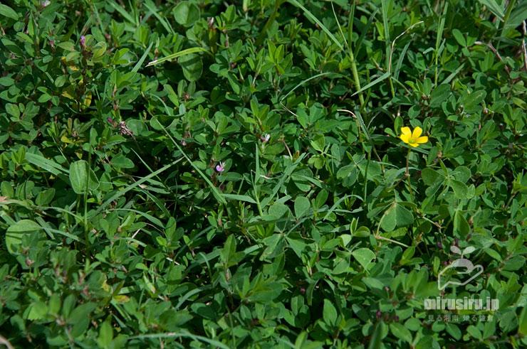 低草地に群生したヤハズソウ、黄色花はカタバミ 逗子市・池子の森自然公園 2019/09/14