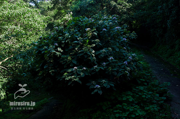 タマアジサイ 横須賀市・塚山公園 2019/09/17
