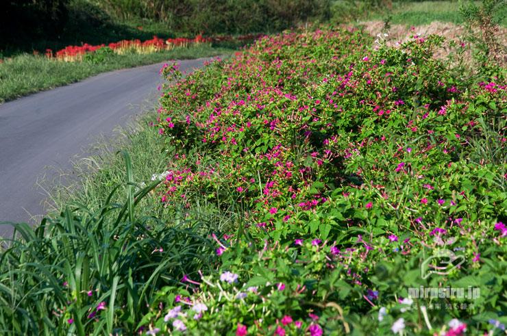 沿道に植えられたオシロイバナ(左奥の赤色はヒガンバナ) 藤沢市遠藤 2019/09/27