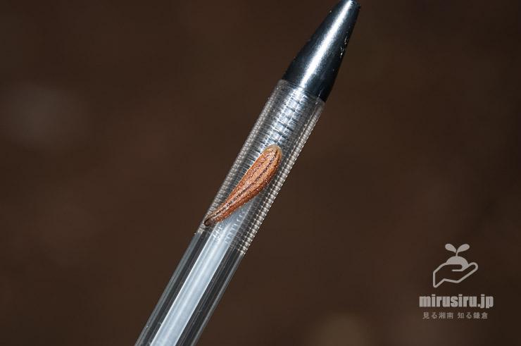 ボールペンで取り除こうとしたらボールペンに付着してしまったニホンヤマビル 秦野市・蓑毛自然観察の森 2016/06/16