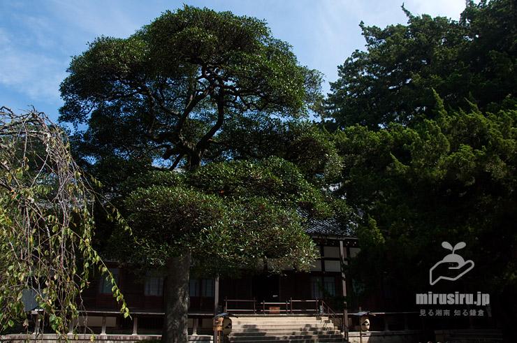 モッコク、右側大木は市指定天然記念物のビャクシン 鎌倉市・円覚寺 2019/10/01