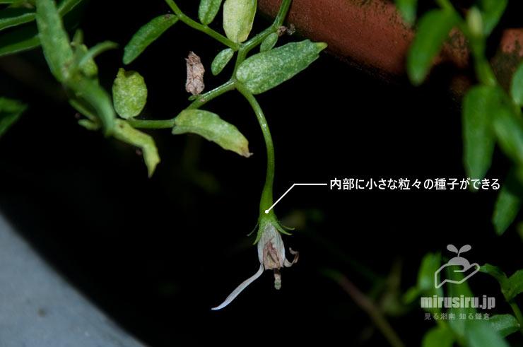 ミゾカクシ(アゼムシロ)の若い実 茅ヶ崎市浜之郷 2019/10/06