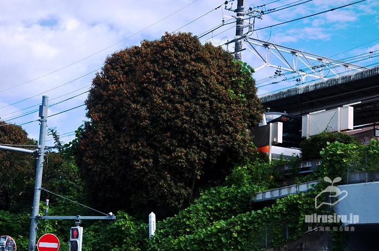 キンモクセイ 東京都日野市・JR中央線日野駅 2019/10/20