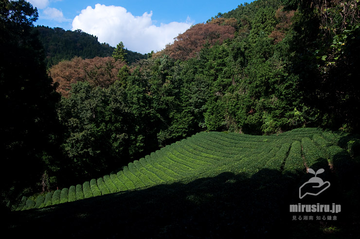 茶畑 松田町・松田山・中尾農道 2019/10/23