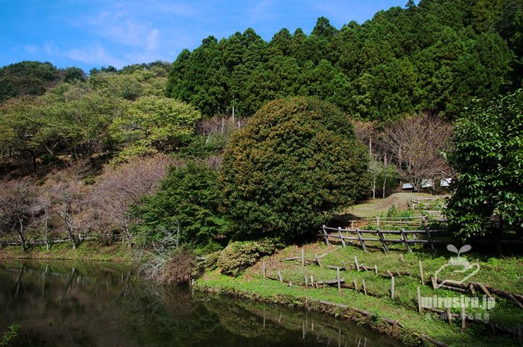 キンモクセイ(中央やや右側のこんもり丸い木) 松田町・最明寺史跡公園 2019/10/23