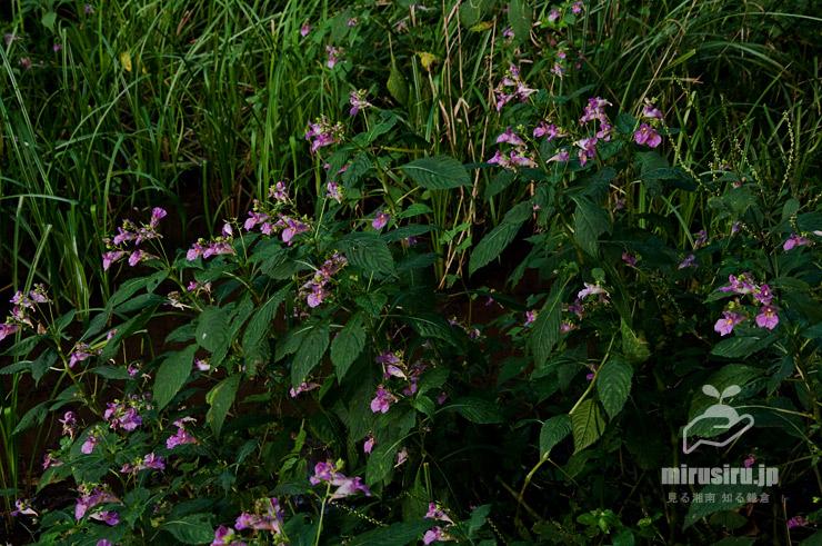 池畔の湿地に群生したツリフネソウ 茅ヶ崎市・清水谷 2016/09/25
