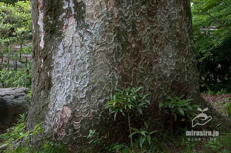 推定樹齢400年といわれるケヤキの幹 小田原市・松永記念館老欅荘(ろうきょそう) 2018/05/26