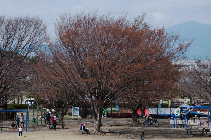 ケヤキの芽吹き 寒川町・さむかわ中央公園 2019/03/25