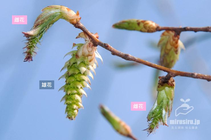 クマシデ 鎌倉市・大船フラワーセンター 2019/03/27