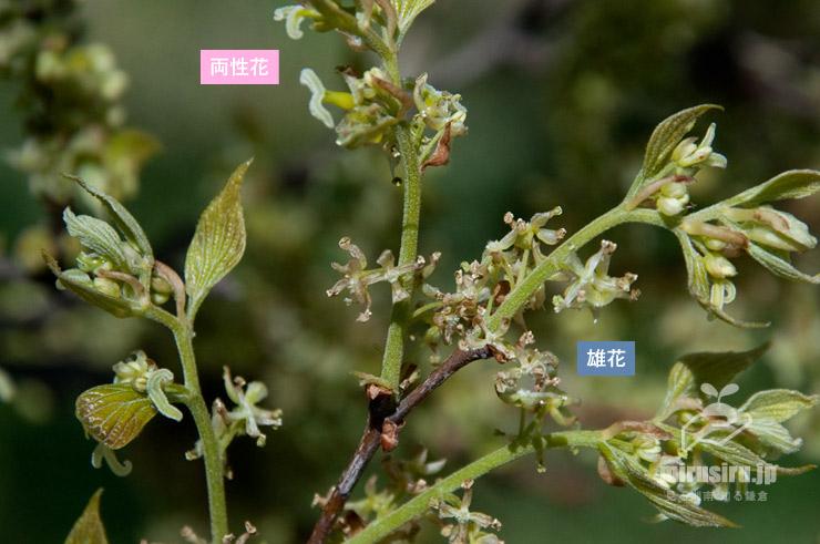 エノキの両性花と雄花 茅ヶ崎市今宿・小出川 2019/04/02