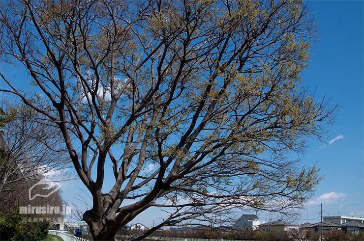 花期のエノキ 茅ヶ崎市今宿・小出川 2019/04/02