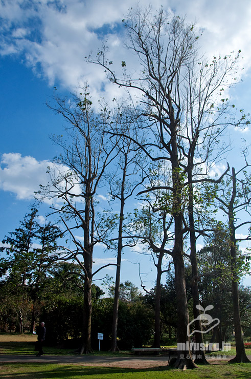 台風15号で劣化後のカンレンボク(キジュ)の樹形 鎌倉市・大船フラワーセンター 2019/11/08