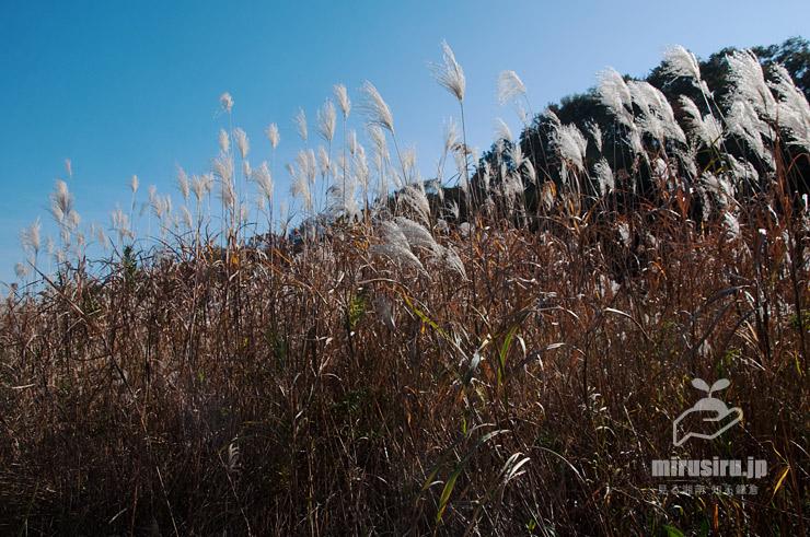 オギの秋の群落 茅ヶ崎市行谷 2019/11/19