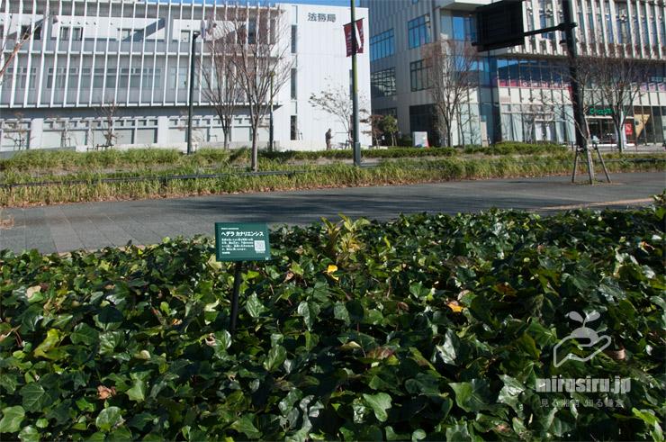 グラウンドカバー状に広がったカナリーキヅタ 藤沢市・神台公園 2019/11/21