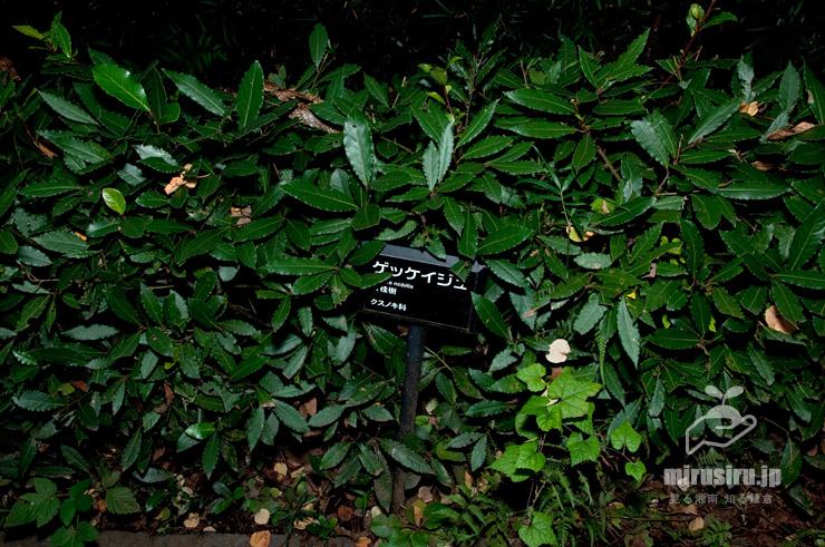 ゲッケイジュの生垣 横浜市南区・こども植物園 2017/10/18