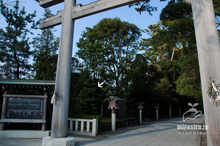 オガタマノキ(白色矢印) 寒川神社 2019/03/05