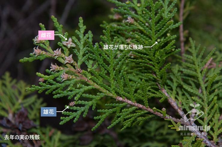コノテガシワの雌花と雄花 鎌倉市・大船フラワーセンター 2019/03/18
