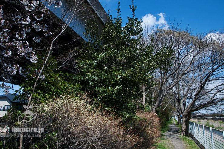 ゲッケイジュ(緑の葉が目立つ中央の木) 茅ヶ崎市今宿 2019/04/02