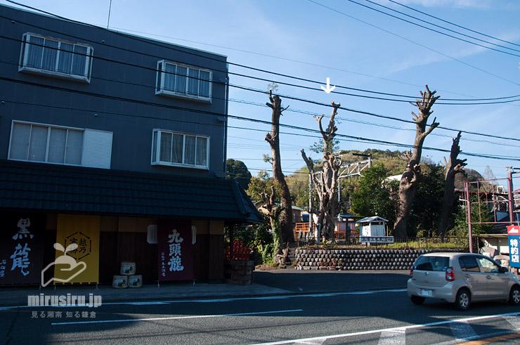 枝落としされたカゴノキ(入生田のカゴノキ、白色矢印) 小田原市 2019/04/13