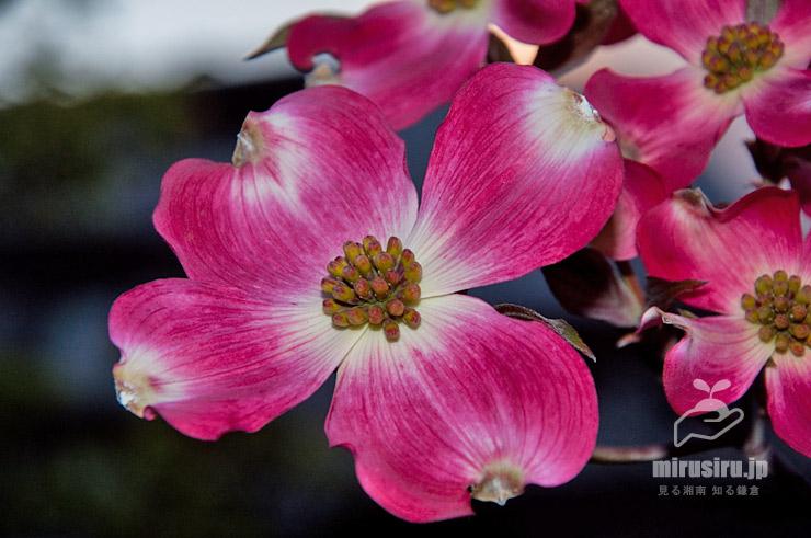 ハナミズキ(本当の花はまだ蕾) 茅ヶ崎市・一里塚公園 2019/04/15