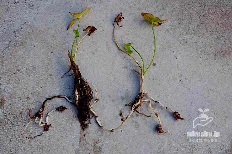 クワイの塊茎(観察のためにやや早期に掘り上げたもの) 茅ヶ崎市浜之郷 2019/11/14