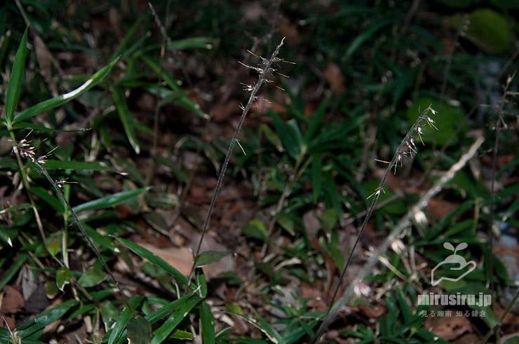 ケチヂミザサの実 藤沢市・新林公園 2019/11/16