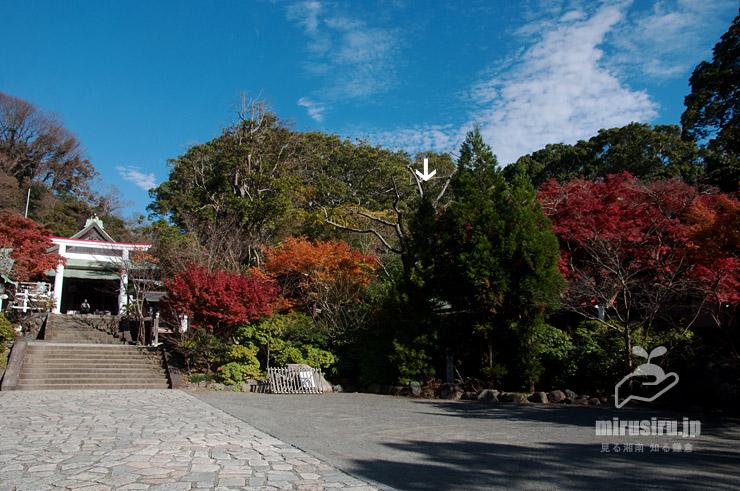 コウヤマキ(白色矢印、右の二本はスギ) 鎌倉宮 2019/12/05
