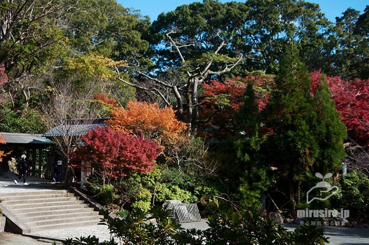 台風等で傷み枝落としされたオガタマノキ(幹や枝が露出した中央) 鎌倉宮 2019/12/05