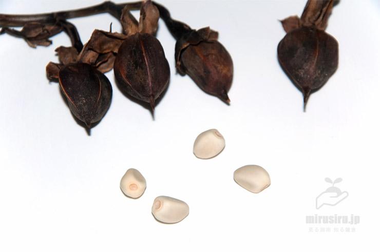 ヨルガオ(シロバナユウガオ)の熟した実と種子 茅ヶ崎市浜之郷 2019/12/06