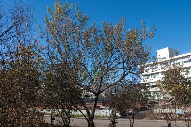 ヒマラヤザクラ(これでも花は最盛期) 鎌倉市・大船フラワーセンター 2019/12/08