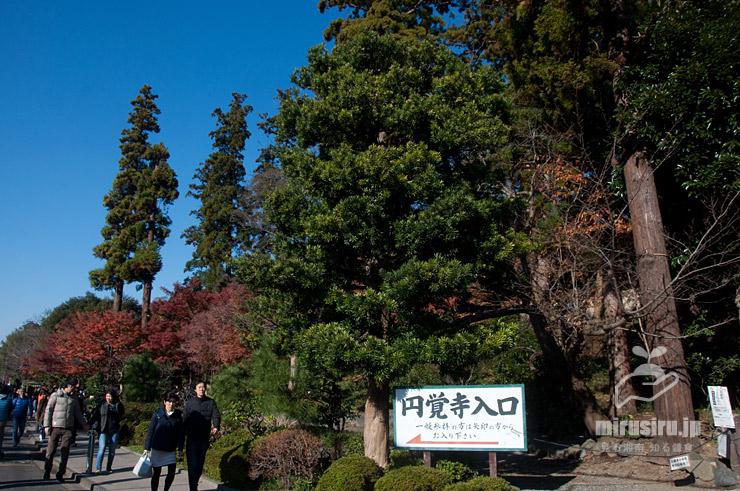 イヌマキ 鎌倉市・円覚寺 2019/12/08