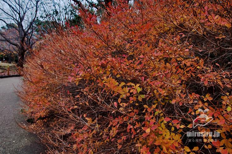 ドウダンツツジの生垣の紅葉 藤沢市・長久保公園 2019/12/11