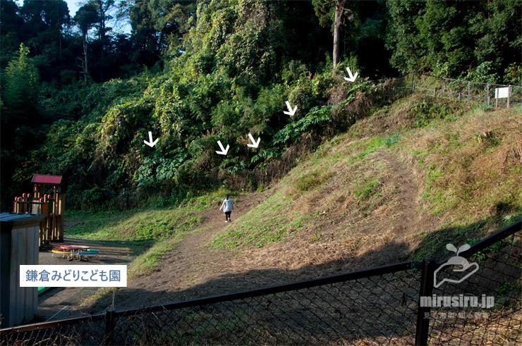 カミヤツデ 鎌倉市植木・七曲坂 2017/11/16