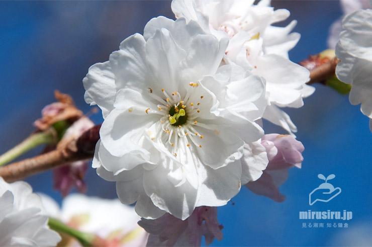 コブクザクラ 鎌倉市・大船フラワーセンター 2019/11/15